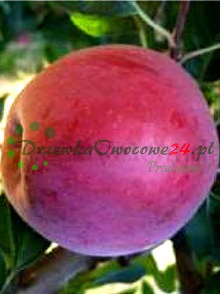 drzewka owocowe jabłoń novamac