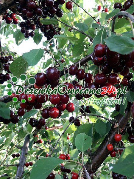 Owoce wiśnia sabina w sadzie drzew owocowych