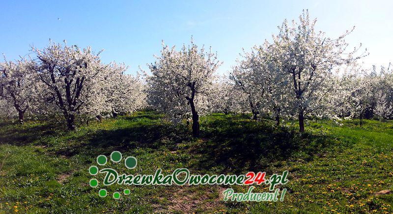Sad wiśniowy z odmianą Łutówka w porze kwitnienia