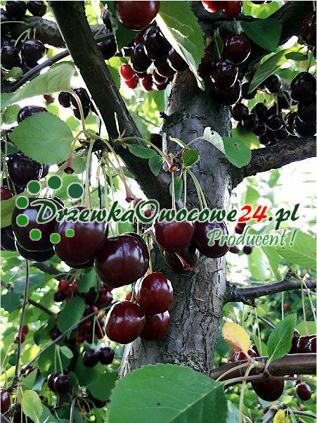 Wiśnia Sabina jest plenna i posiada duże owoce
