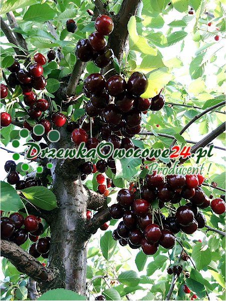Wiśnia Sabina sadzonki z owocami