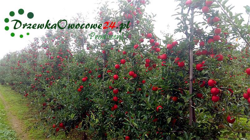 Jabłoń Gala Must