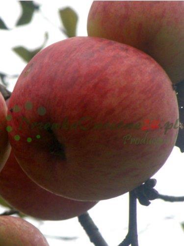 Owocująca sadzonka Jabłoni Grafsztynek