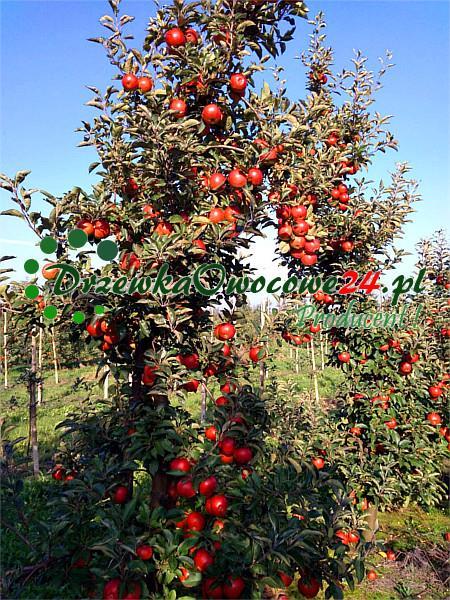 Jabłoń Idared