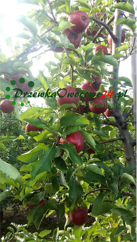 Jabłoń Lobo
