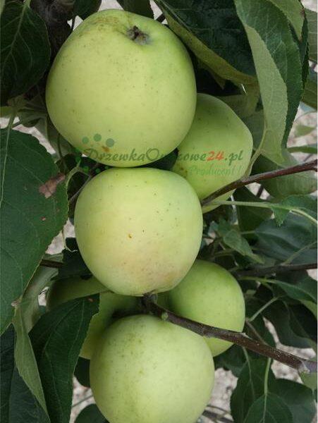 Jabłoń Oliwka Żółta (Papierówka)