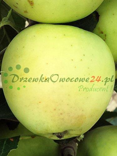 Owocująca jabłoń Oliwka Żółta stara odmiana zwana papierówka. Sadzonki w sprzedaży wysyłkowej.