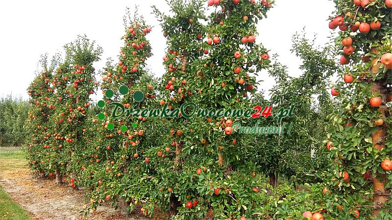Jabłoń Szampion