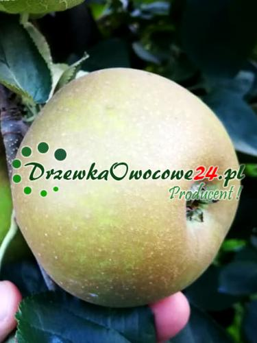 Jabłoń Szara Reneta - sadzonki