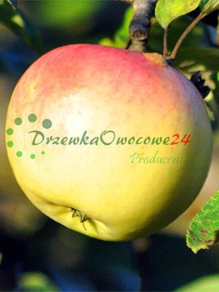 Jabłoń Ananas Berżenicki