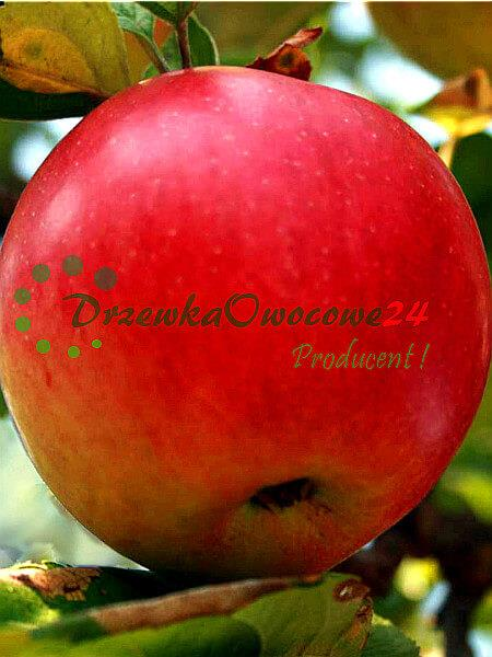 Jabłoń Freedom