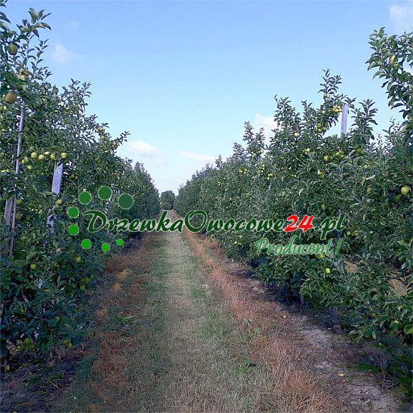 Jabłoń Golden Delicious w sadzie