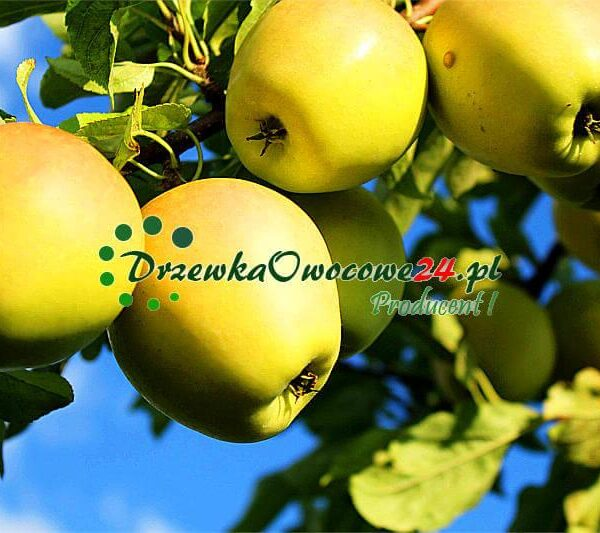 Jabłoń Golden Delicious