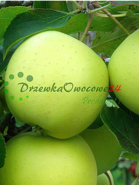 Jabłoń Kosztela