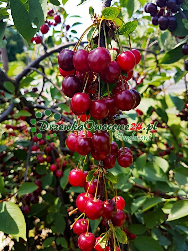 Owoce wiśni Łutówki