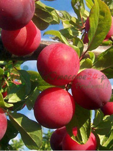 Owocująca sadzonka Śliwy Renkloda Althana - czerwona ulena