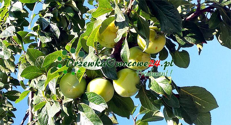Drzewo - Śliwa Renkloda Ulena