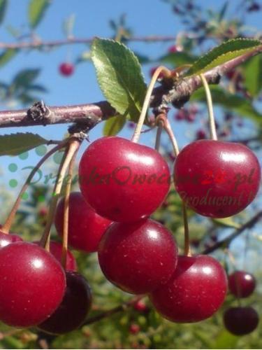Owocująca sadzonka Wiśni Groniasta z Ujfehertoi