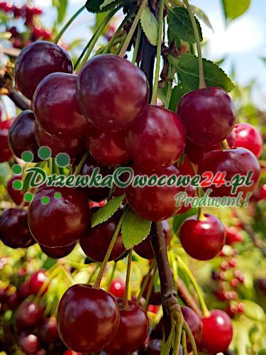 Owocująca sadzonka Wiśni Łutówka