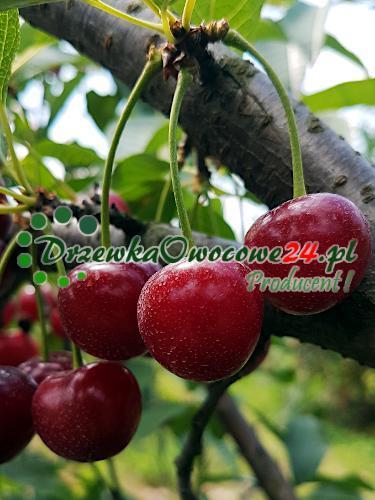 Owocująca sadzonka Wiśni Pandy 103