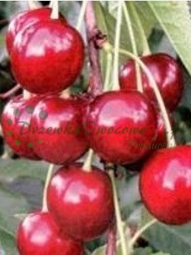 Owocująca sadzonka Wiśni Wanda