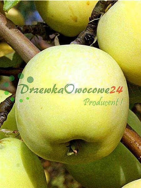 Jabłoń Antonówka Zwykła