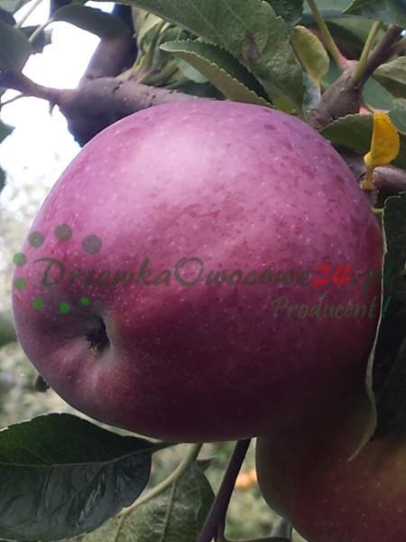 Jabłoń Malinowa Oberlandzka - sadzonki