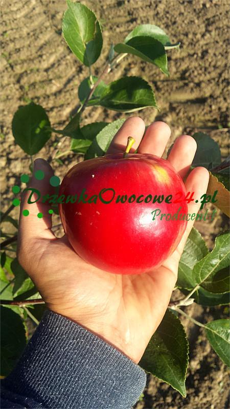 Jabłoń Early Geneva (czerwona papierówka)
