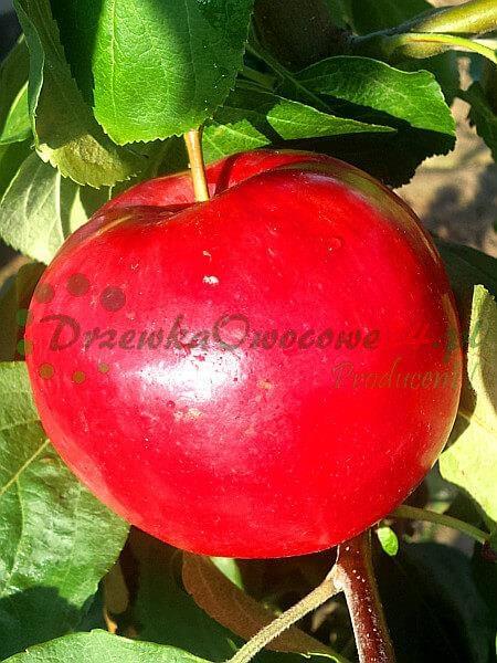 Jabłoń Early Geneva - Czerwona Papierówka