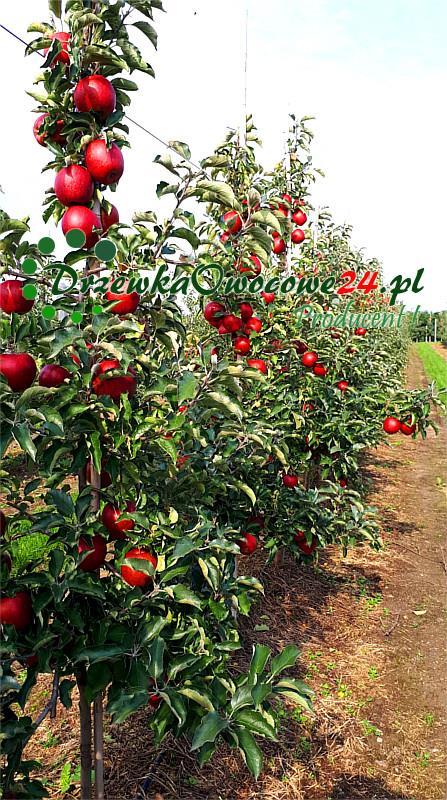 Jabłoń Jonagold w sadzie