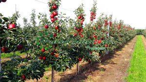 Jabłoń Jonaprince w sadzie