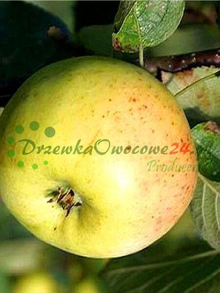 Jabłoń Kronselka Kronselska