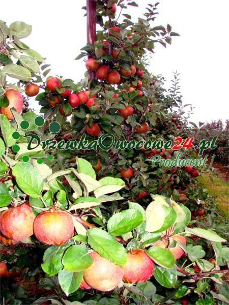 Jabłoń Red Boskoop