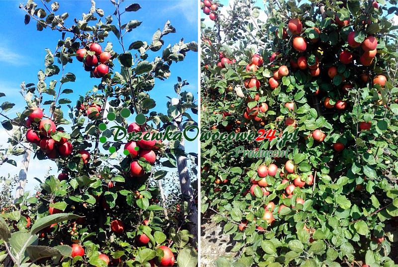 Jabłoń - Red Boskoop