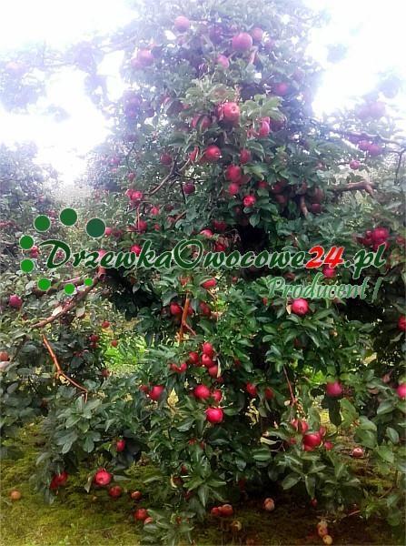 Jabłoń Alwa