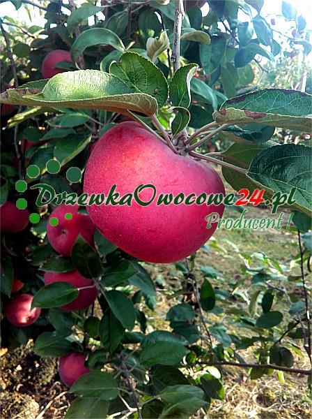 Jabłoń Cortland Wicki