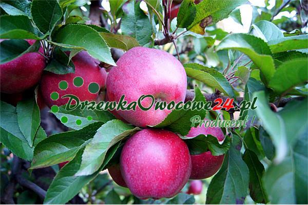 Jabłoń Gloster owoce