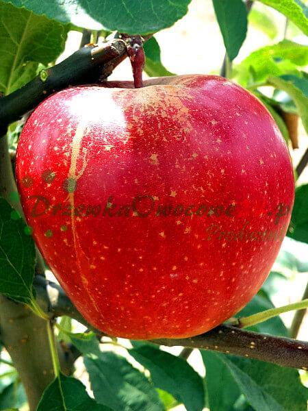 Jabłoń Gloster