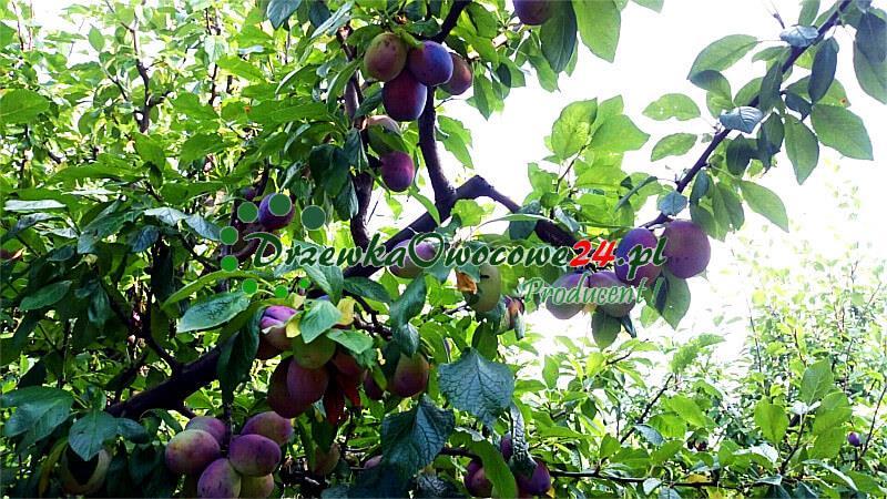 Śliwa Amers (mieszaniec) - na drzewie