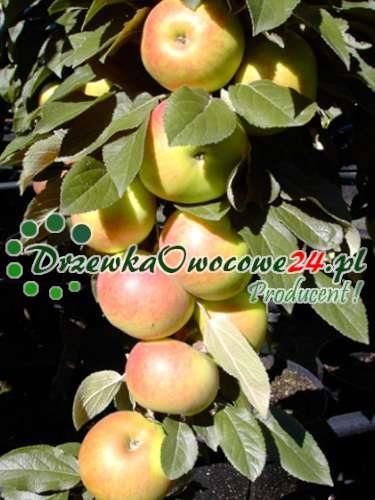 Jabłoń kolumnowa Arbat