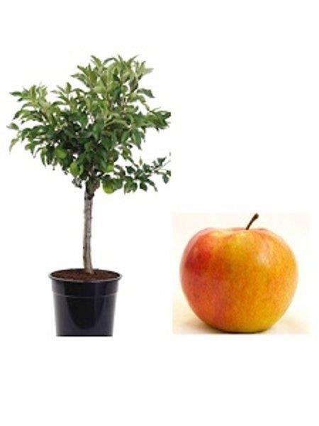 Mini Jabłoń Corquella