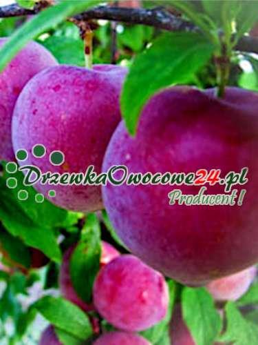 Śliwomorela plum-cot