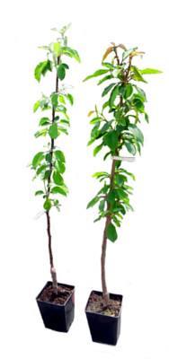 drzewko owocowe w doniczce