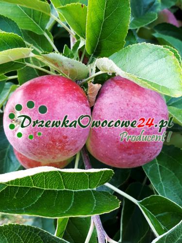 Drzewka owocowe - Jabłoń Delikates