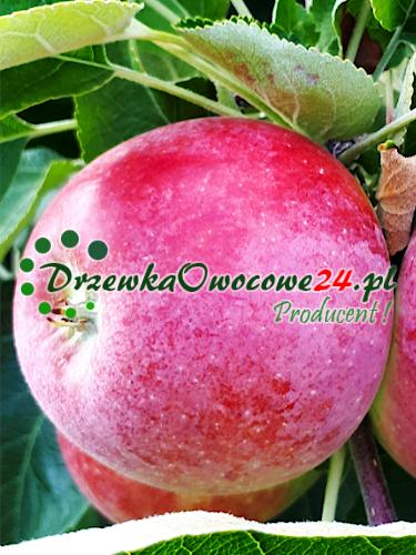 Jabłoń Delikates - sadzonki