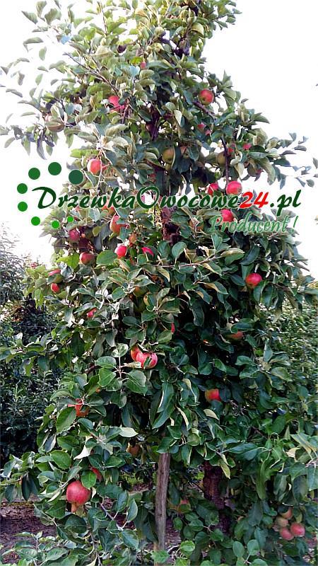 Jabłoń Delikates - owoce w sadzie