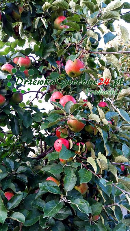 Jabłoń Delikates w sadzie