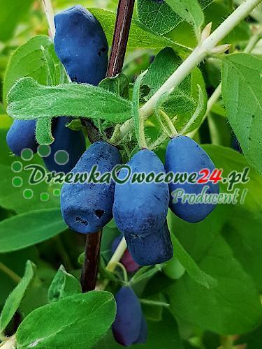 Owoce na sadzonce Jagody Kamczackiej Atuta
