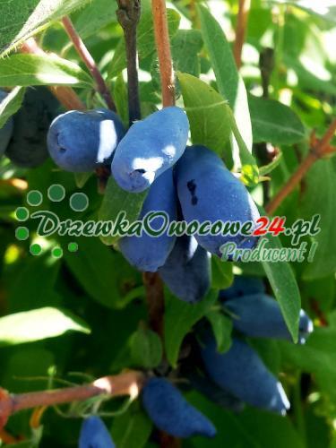 owocująca sadzonka jagody kamczackiej Duet