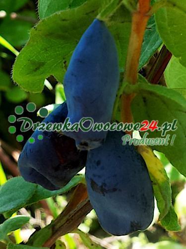 owocująca sadzonka jagody kamczackiej Karina